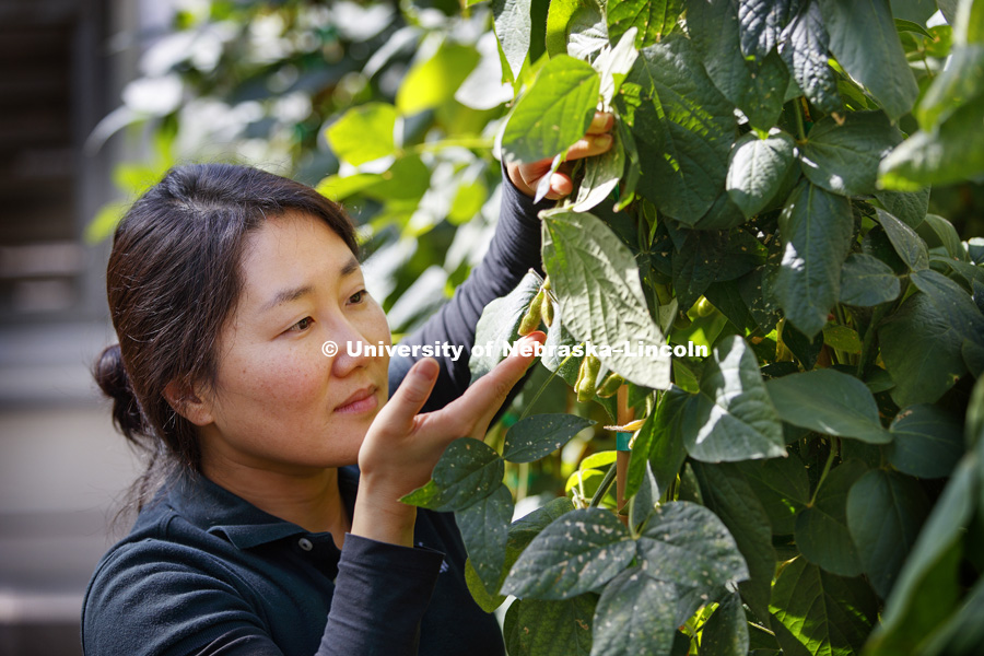 Haejin Kim, a post doc and Senior Research Associate in the Center for Plant Science Innovation, examines soybeans in the Beadle greenhouse. The soybeans are bred for the salmon farming industry and keeps the salmon's meat it's natural pink color when