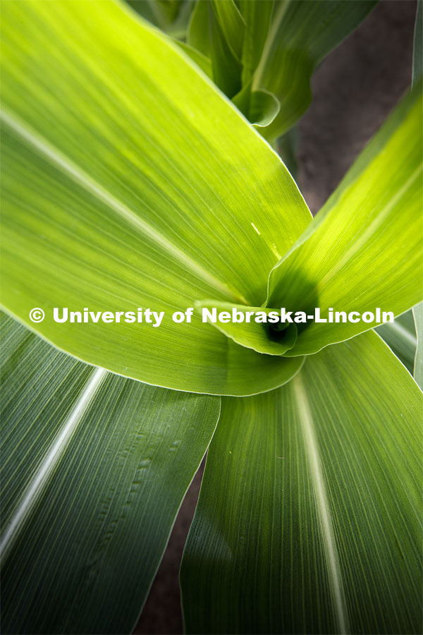 Close up of a corn plant at the Agriculture fields at 84th and Havelock. June 30, 2020. Photo by Craig Chandler / University Communication.
