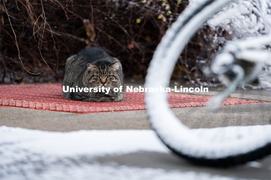 One of the University's feral cats warms itself on one of the steam tunnels grates. Snow on UNL City Campus. December 12, 2020. Photo by Jordan Opp for University Communication.