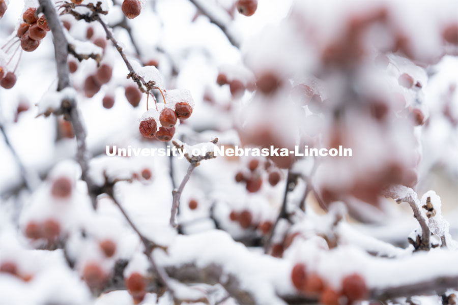 Frozen berries on a tree covered in snow and ice. Snow on UNL City Campus. December 12, 2020. Photo by Jordan Opp for University Communication.