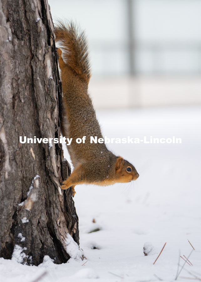 The squirrels of City Campus. Snow on UNL City Campus. December 12, 2020. Photo by Jordan Opp for University Communication.