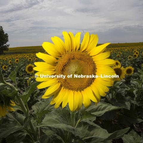 Sunflowers in field near Minneapolis, KS. July 8, 2012. Photo by Craig Chandler / University Communications
