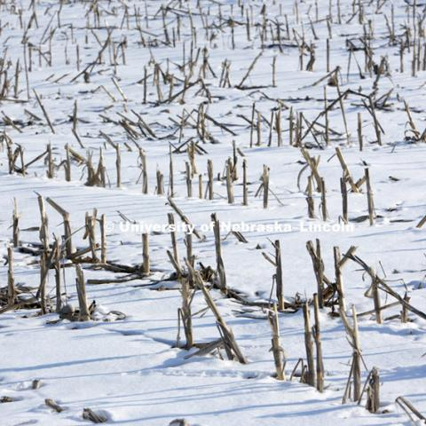 Snow blankets the ground as corn stalks poke through in southern Lancaster County. Saturday, February 24, 2013. Photo by Craig Chandler / University Communications