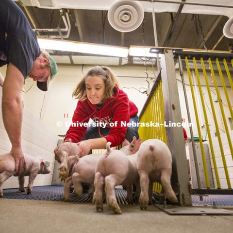 ASCI 150 class learns Farrowing Management weighing and sorting piglets on east campus. Bryan A. Reiling, Ph. D. Associate Professor, Animal Science. February 17, 2015. Photo by Craig Chandler / University Communications.