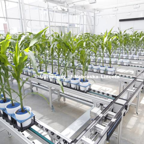 Corn grows in Innovation Campus greenhouse. June 17, 2016. Photo by Craig Chandler / University Communications