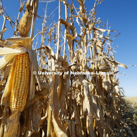 Corn harvest and grain storage bins on the Spohn Farms ground near Friend, NE.  October 18, 2016.  Photo by Craig Chandler / University Communication