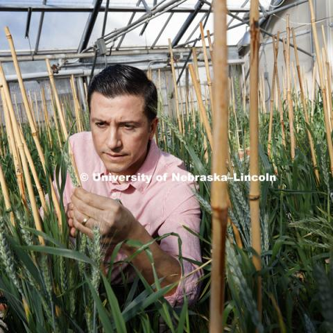 Jorge Venegas is studying the effect of two genes (GPC-B1 and lpa-1) in the mineral composition in wheat grain. His main objective is to incorporate these two traits into Great Plains wheat germplasm, which will increase protein, iron and zinc without