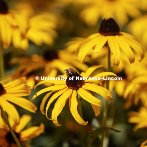 Black-eyed Susan flowers on UNL City Campus. August 3, 2017. Photo by Craig Chandler / University Communication.