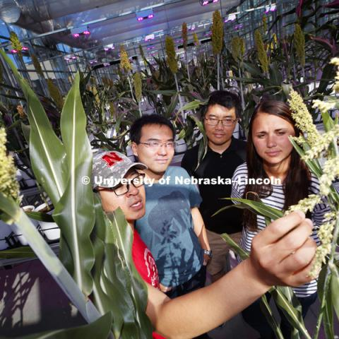 Nebraska Food for Health Center is linking agricultural and medical research to prevent disease. Graduate researchers, from left, Chenyong Miao, Zhikai Liang, Qinnan Yang and Mallory Van Haute look over sorghum being grown to identify beneficial traits to