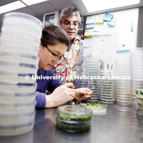 Tom Clemente looks in on as Lili Hou, Post-Doc Research Associate in the Center for Plant Science Innovation, uses a forceps and scalpel on soybean cotyledon explants as they are prepared for culture, first step for soybean transformation. Tom Clemente
