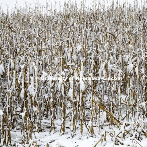 Four inches of snow from an early storm covers a corn field awaiting harvest in southeast Lancaster County. October 14, 2018. Photo by Craig Chandler / University Communication.