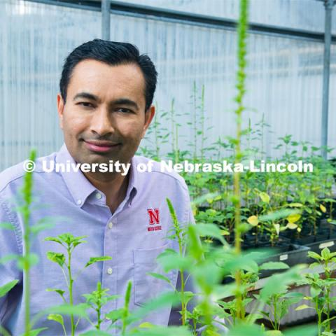 Amit Jhala (pictured in a greenhouse), Associate Professor and Extension weed management specialist in the Department of Agronomy and Horticulture at the University of Nebraska–Lincoln. Photo for the 2019 publication of the Strategic Discussions for Nebraska magazine. June 6, 2019. Photo by Greg Nathan, University Communication.