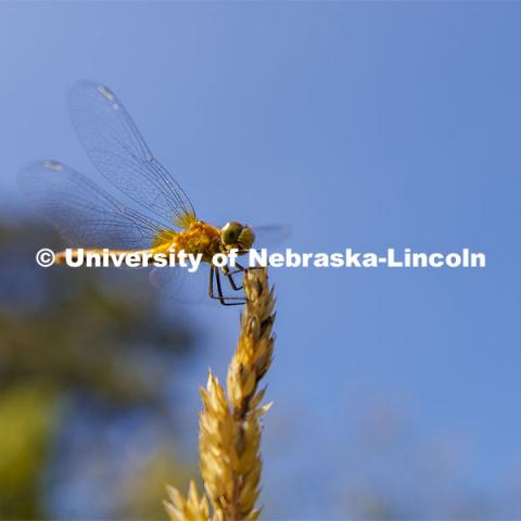 A dragonfly rests on a piece of grass in western Nebraska. Jessica Corman, assistant professor in the School of Natural Resources, UCARE research group researching algae in the Niobrara River. Fort Niobrara National Wildlife Refuge. July 13, 2019. Photo by Craig Chandler / University Communication.