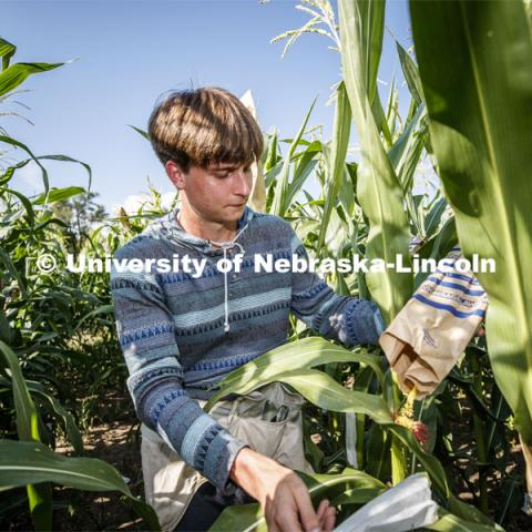 Payton Knutzen-Young, senior in chemistry from Lincoln, bags the tassels of the popcorn hybrid he is researching. David Holding, Associate Professor of Agronomy and Horticulture, and his team is pollenating popcorn hybrids at their East Campus field. July 17, 2019. Photo by Craig Chandler / University Communication.
