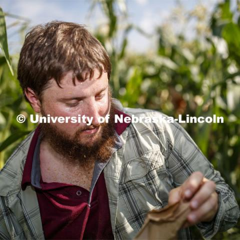 Preston Hurst, PhD student in agronomy and horticulture from Decatur, Alabama, bags the tassels of the popcorn hybrid he is researching. David Holding, Associate Professor of Agronomy and Horticulture, and his team is pollenating popcorn hybrids at their East Campus field.  July 17, 2019. Photo by Craig Chandler / University Communication.