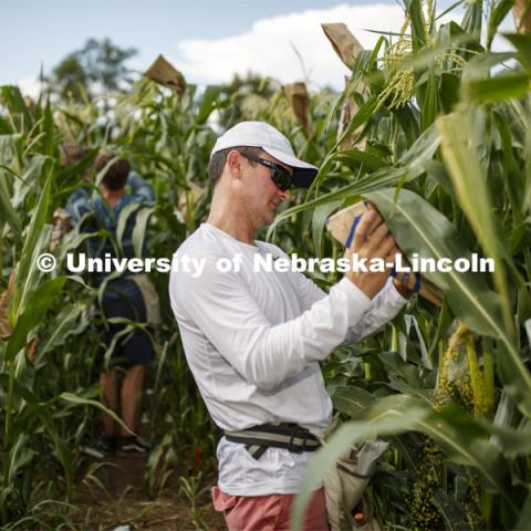 David Holding, Associate Professor of Agronomy and Horticulture, and his team is pollenating popcorn hybrids at their East Campus field. July 17, 2019. Photo by Craig Chandler / University Communication.