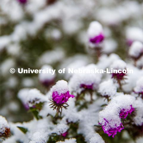 Flowers covered in snow. First snow of the year. October 29, 2019. Photo by Craig Chandler / University Communication.