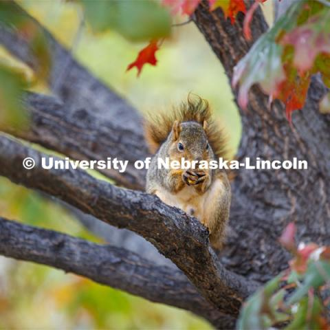 Squirrel eating a nut in a tree on UNL's City Campus. Squirrel refused to give name. October 30, 2019. Photo by Craig Chandler / University Communication.