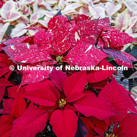 Poinsettias to be sold at the annual Horticulture Club sale. December 2, 2019. Photo by Craig Chandler / University Communication.