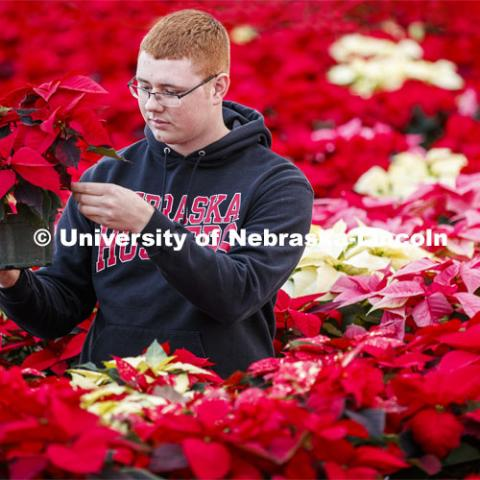 Brandon Mars, sophomore in horticulture from Muskego, WI, waters the poinsettias in an East Campus greenhouse to be sold at the annual Horticulture Club sale. December 2, 2019. Photo by Craig Chandler / University Communication.
