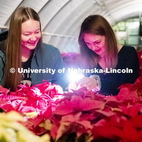 Twas the night before the poinsettia sale and all through the greenhouse, Nebraska Horticulture Club members sort poinsettias for the annual sale. Leslie Aase and Kaley Wilcox check out the leaves of a plant using their phone as they sorted the plants in the dimly lighted greenhouse. December 4, 2019. Photo by Craig Chandler / University Communication.