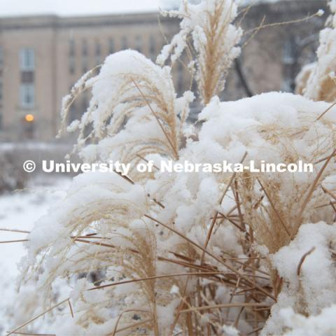 Pampas grass covered in snow. Snow on UNL's City Campus. February 5, 2020. Photo by Gregory Nathan / University Communication.