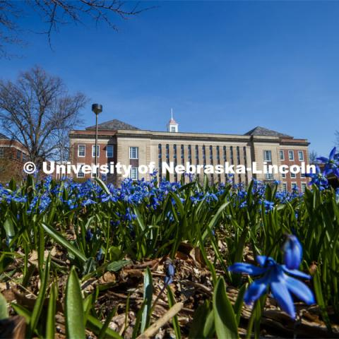 The Love Gardens in front of Love Library bloom with blue sky on city campus. March 30, 2020. Photo by Craig Chandler / University Communication.