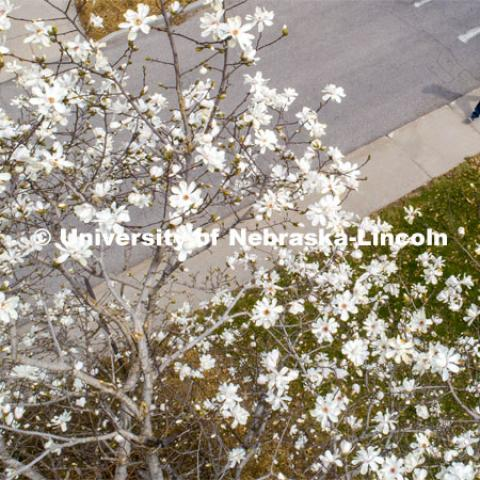 A young man in a Husker hat walks by a magnolia tree in bloom on East Campus. March 31, 2020. Photo by Craig Chandler / University Communication.