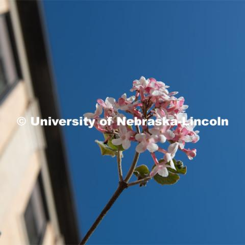 Spring trees and flowers bloom on East Campus. April 21, 2020. Photo by Gregory Nathan / University Communication.