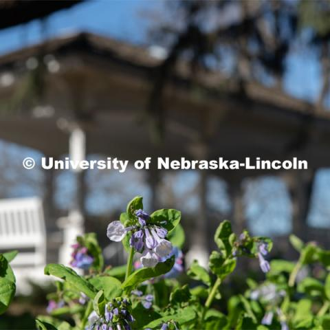 Spring flowers bloom around Perin's Porch on East Campus. April 21, 2020. Photo by Gregory Nathan / University Communication.
