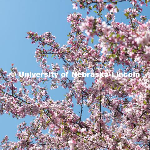 Spring trees and flowers bloom on City Campus. April 21, 2020. Photo by Gregory Nathan / University Communication.