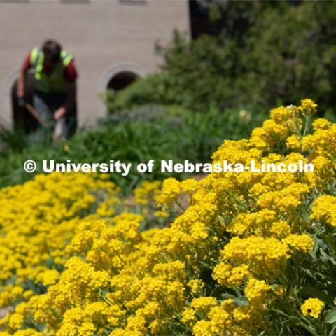 Landscape Services work on the flower beds. Spring is in bloom on East Campus. May 5, 2020. Photo by Gregory Nathan / University Communication.