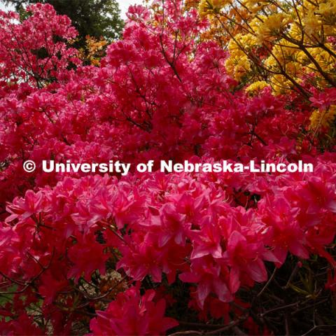 Azaleas bloom in the Maxwell Arboretum on East campus blooms. May 12, 2020. Photo by Craig Chandler / University Communication.