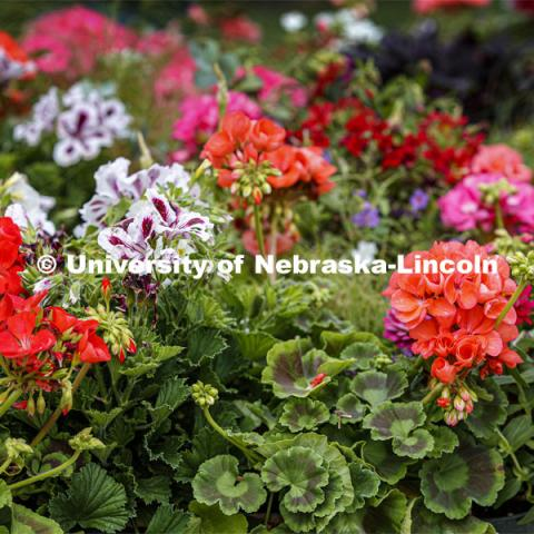 The University of Nebraska-Lincoln Horticulture Club hosted its first-ever plant giveaway Thursday, a replacement for the club's annual plant sale and fundraiser was due to the university shutdown in response to the global pandemic in mid-March. A prepackaged assortment of plants in a cardboard flat will be ready for each recipient. There were two sessions of giveaways with 100 flats of plants at each one. It only took 22 minutes to give away the morning allocation of flats. May 21, 2020. Photo by Craig Chandler / University Communication.