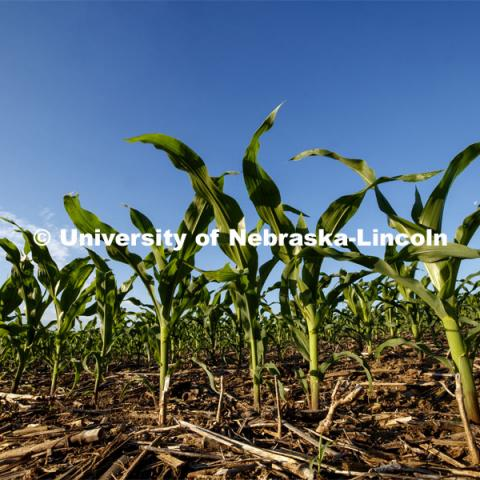 Corn grows in a field north of Adams, Nebraska. June 9, 2020. Photo by Craig Chandler / University Communication.
