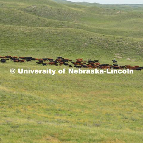 Ranchers ride on horseback to round up the cattle for branding and tagging. Cattle and livestock on the Diamond Bar Ranch north of Stapleton, NE, in the Nebraska Sandhills. June 23, 2020. Photo by Natalie Jones.  Photos are for UNL use only.  Any outside use must be approved by the photographer.