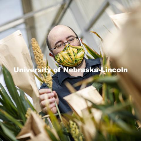 James Schnable was awarded a $2.7M grant to develop method for characterizing gene functions in sorghum. Show here with his research plants in Beedle Greenhouse. June 26, 2020. Photo by Craig Chandler / University Communication.