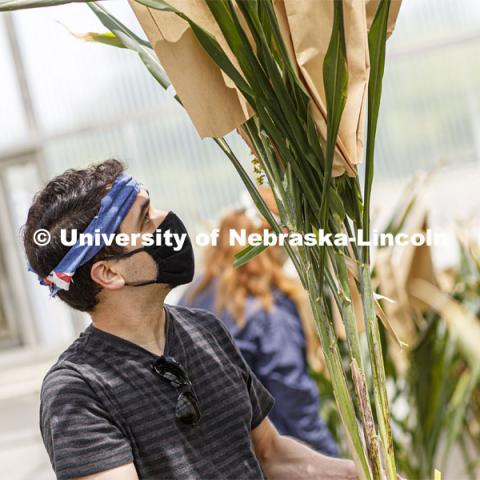 Summer research in Beadle Greenhouse in James Schnable sorghum research area. Students wear masks as protection against COVID-19. June 26, 2020. Photo by Craig Chandler / University Communication.