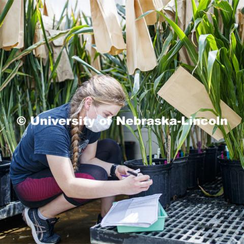 Olivia Fiala, research technician for the Center for Plant Innovation, records and examines sorghum plants in Beadle Greenhouse. James Schnable sorghum research. Students wear masks as protection against COVID-19. June 26, 2020. Photo by Craig Chandler / University Communication.
