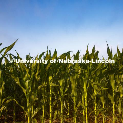 Corn grows in the Agriculture fields at 84th and Havelock. June 30, 2020. Photo by Craig Chandler / University Communication.