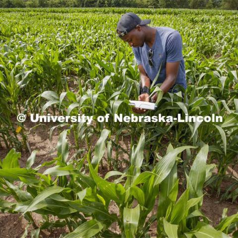 Aime Nishimwe, senior in integrated science, takes a photosynthesis measurement of a corn leaf in the research fields at 84th and Havelock. June 30, 2020. Photo by Craig Chandler / University Communication.