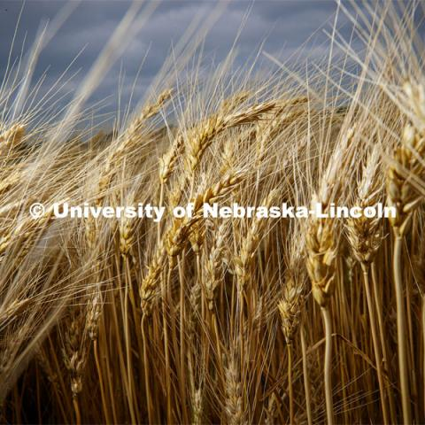 Wheat grows at the Agriculture fields at 84th and Havelock. June 30, 2020. Photo by Craig Chandler / University Communication.