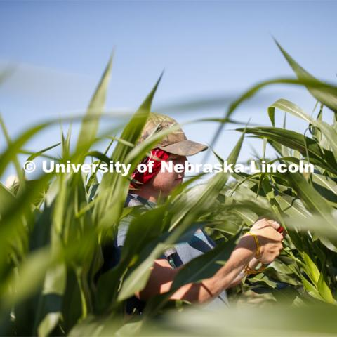 Isaac Stevens uses a punch to collect samples from the leaves of several corn plants in each plot at the University of Nebraska–Lincoln's Department of Agronomy and Horticulture research fields at 84th and Havelock. The leaf punches will be tested for high throughput RNA and will be tested across it's 30,000 genes and almost 300 metabolites. The student workers are testing the plants as part of James Schnable's research group. July 8, 2020. Photo by Craig Chandler / University Communication.