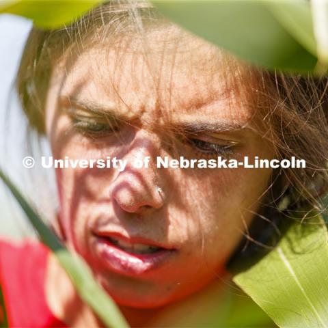 Sierra Conway uses a punch to collect samples from the leaves of several corn plants in each plot at the University of Nebraska–Lincoln's Department of Agronomy and Horticulture research fields at 84th and Havelock. The leaf punches will be tested for high throughput RNA and will be tested across it's 30,000 genes and almost 300 metabolites. The student workers are testing the plants as part of James Schnable's research group. July 8, 2020. Photo by Craig Chandler / University Communication.