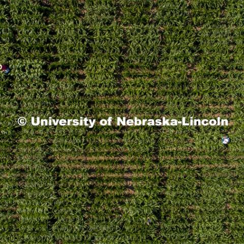 Students use a punch to collect samples from several corn plants in each plot at the University of Nebraska–Lincoln's Department of Agronomy and Horticulture research fields at 84th and Havelock. The leaf punches will be tested for high throughput RNA and will be tested across it's 30,000 genes and almost 300 metabolites. The student workers are testing the plants as part of James Schnable's research group. July 8, 2020. Photo by Craig Chandler / University Communication.