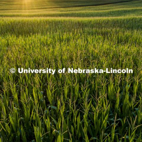 Corn fields tassel north of Adams, Nebraska. July 17, 2020. Photo by Craig Chandler / University Communication.
