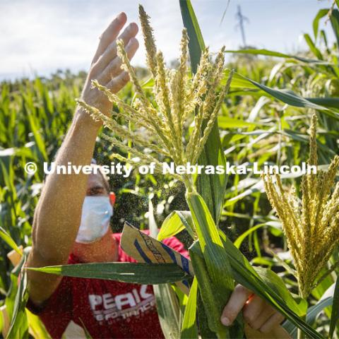 David Holding, Associate Professor of Agronomy and Horticulture, and Caleb Wehrbein, senior in plant biology, pollenating popcorn in test plots on East Campus. July 22, 2020. Photo by Craig Chandler / University Communication.