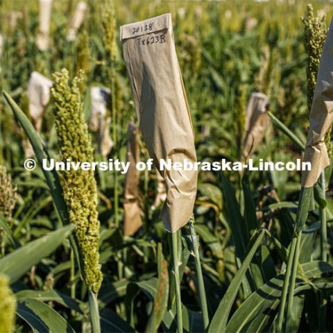 Sorghum grows in test plots on East Campus. July 22, 2020. Photo by Craig Chandler / University Communication.