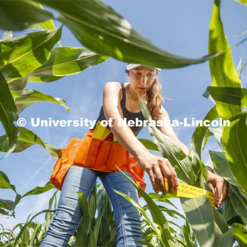 Grad student Mackenzie Zwiener, bands sorghum plots and also measures leaf angles in her UNL research field at 84th and Havelock in Lincoln, NE. July 24, 2020. Photo by Craig Chandler / University Communication.