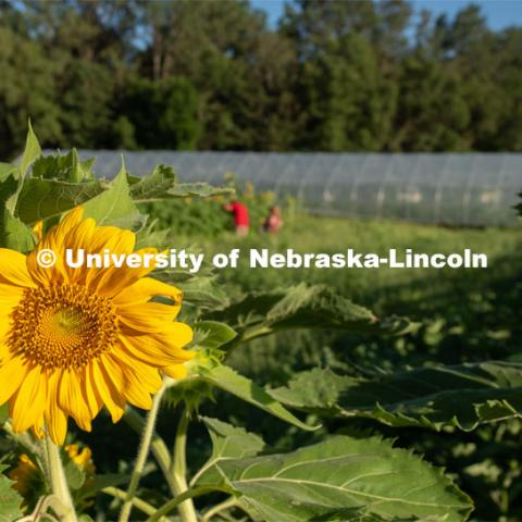 Sunflowers blooming, Lincoln families work their garden area at Prairie Pines in east Lincoln. July 27, 2020. Photo by Gregory Nathan / University Communication.